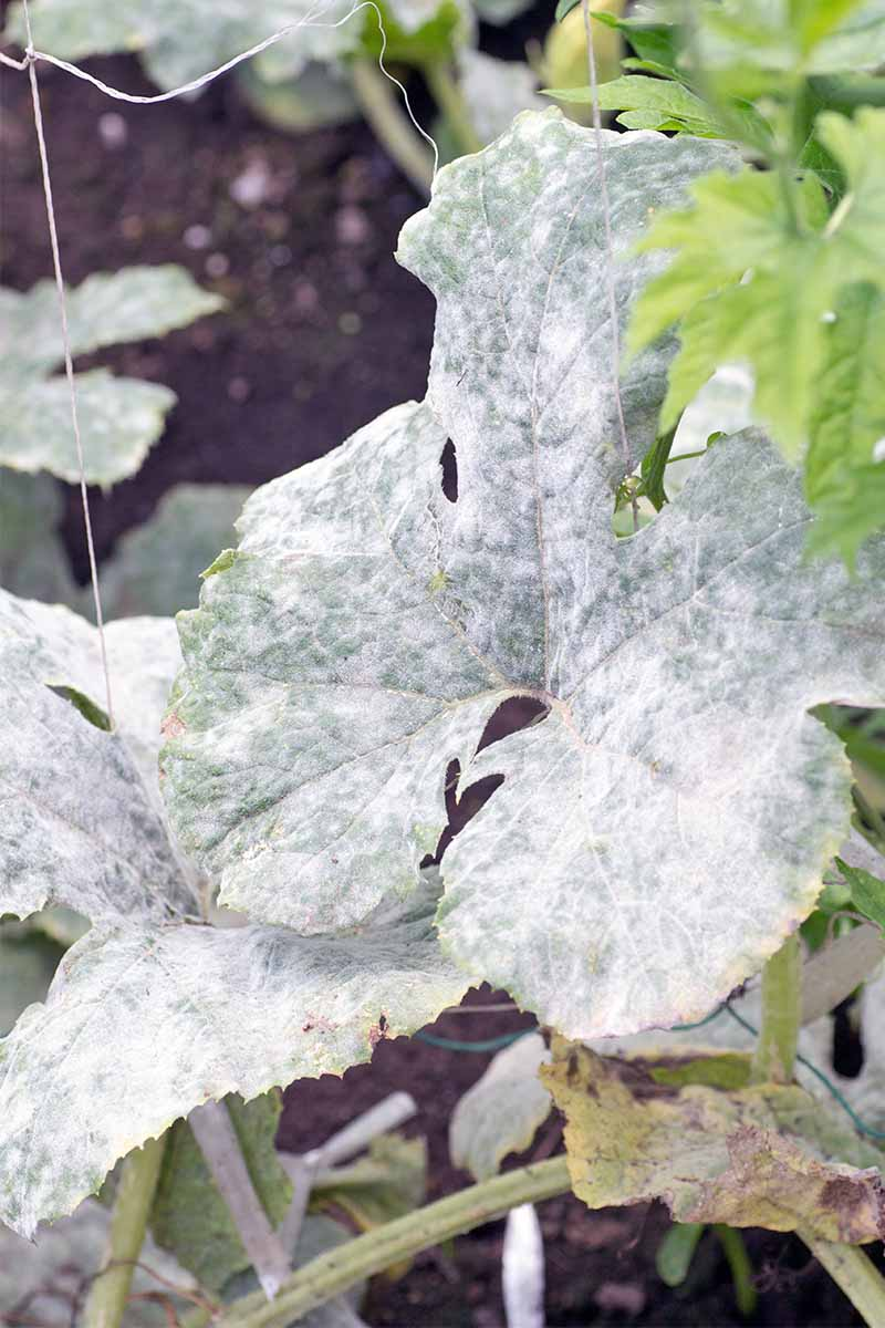 Leaves of a squash plant covered with white powdery mold, with dark brown soil in the background.