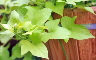 Light green leaves of a sweet potato vine, growing on a brown cedar fence.