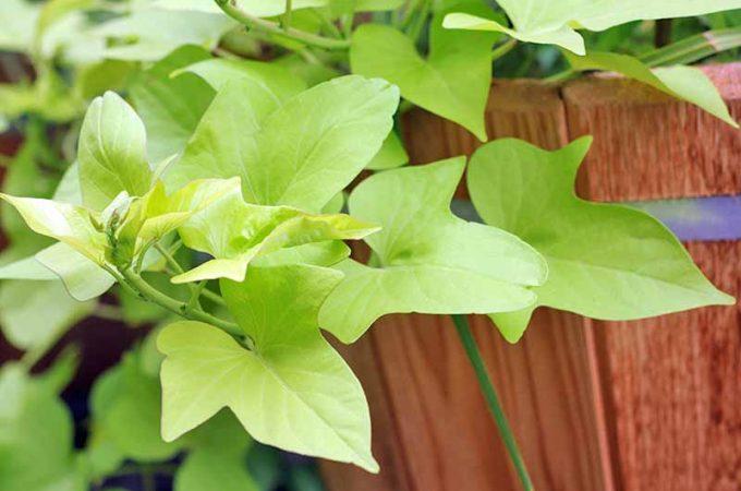 Light green leaves of a sweet potato vine, growing on a brown cedar fence.