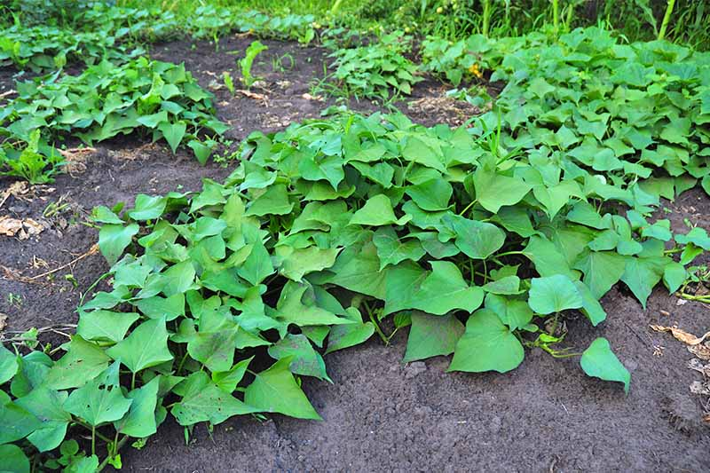 Green sweet potato vines trailing across a bed of black soil.