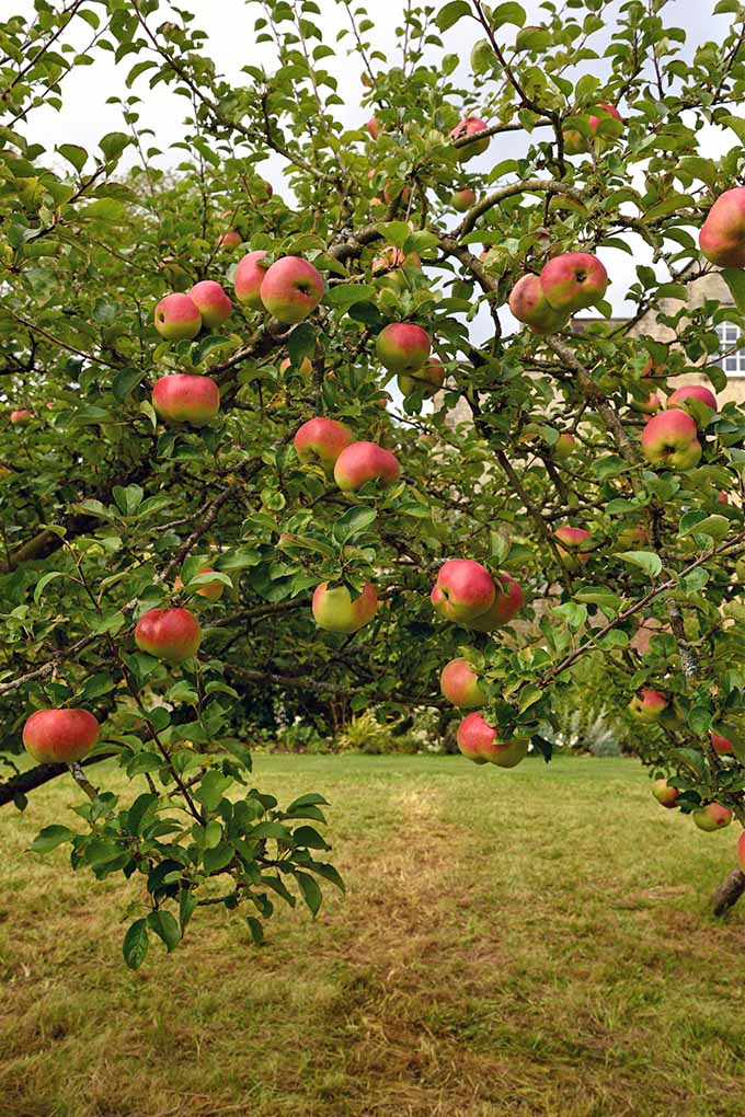 Vertical image of red apples growing on a branch of a tree with green leaves, with a patchy brown and green lawn.