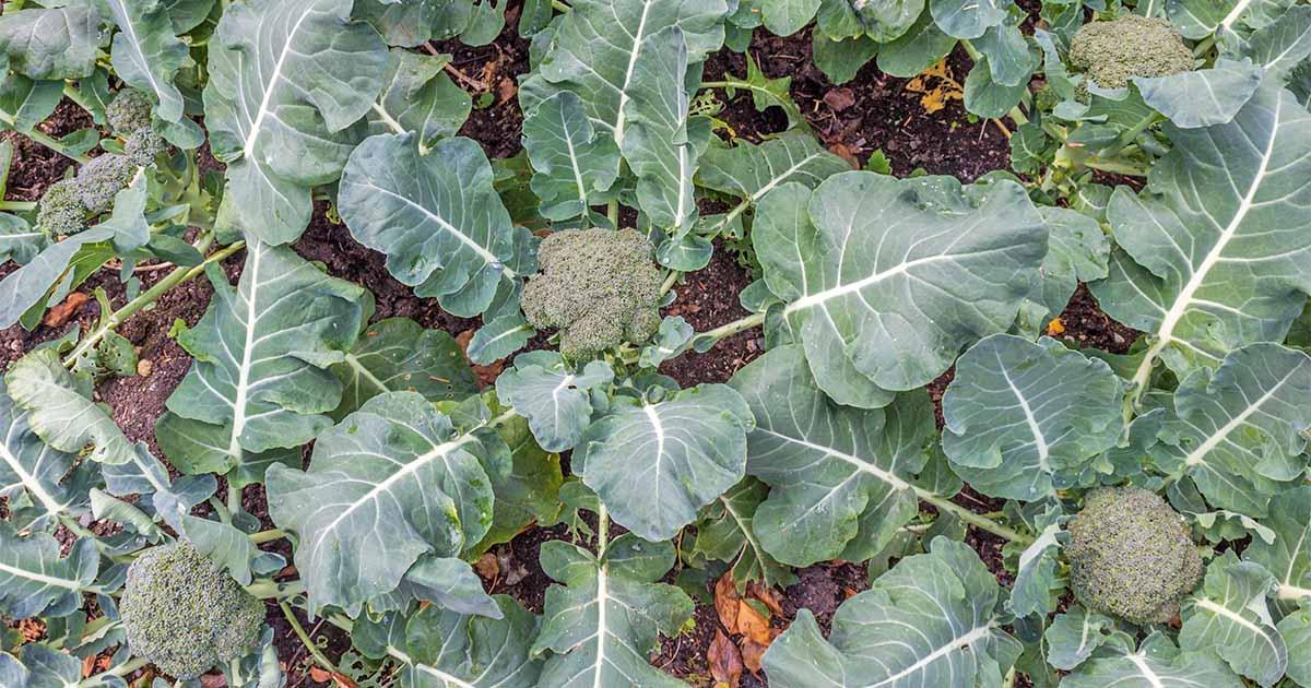 10 Best Broccoli Varieties For Your Garden Plus 3 Delicious Bonus Options