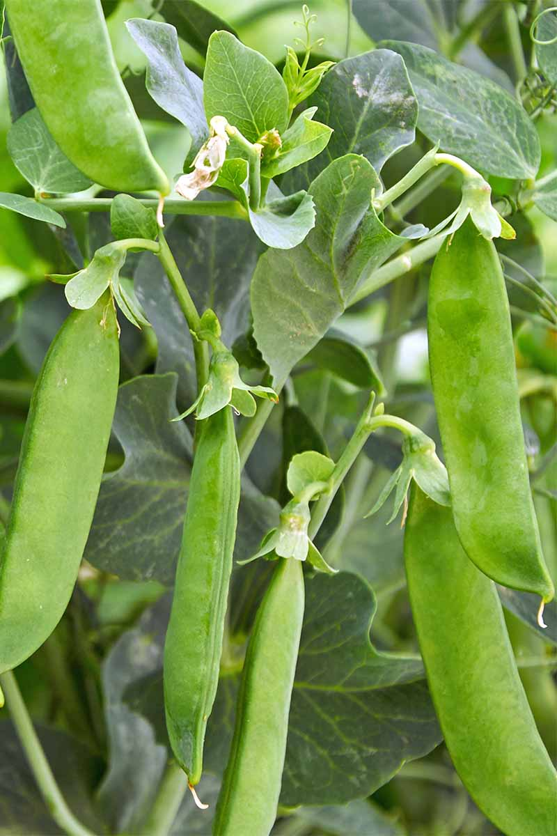 Vertical image of many pea pods growing on a plant with green leaves.