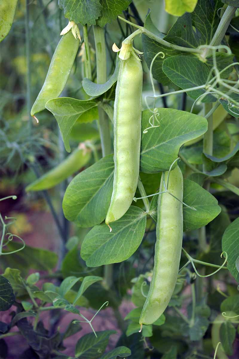 Vertical image of green pea pods growing on a plant with skinny tendrils and green leaves.