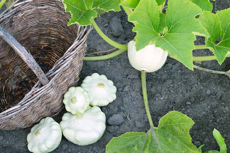 Four harvested white scallop squash next to a brown wicket basket on black soil, next to the plant with one more of the vegetables that's ready to harvest and large green leaves.