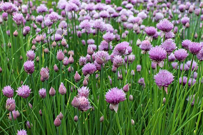 The frame is filled with blooming green chives with pink and purple flowers.
