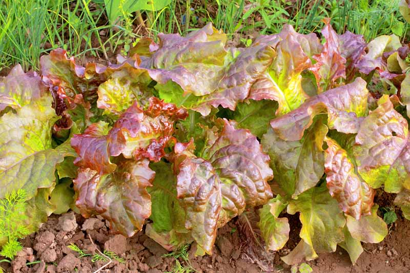 Red leaf lettuce growing in a garden bed.