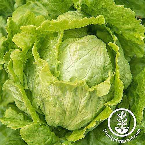 Closeup of a green head of 'Webbs Wonderful' lettuce.