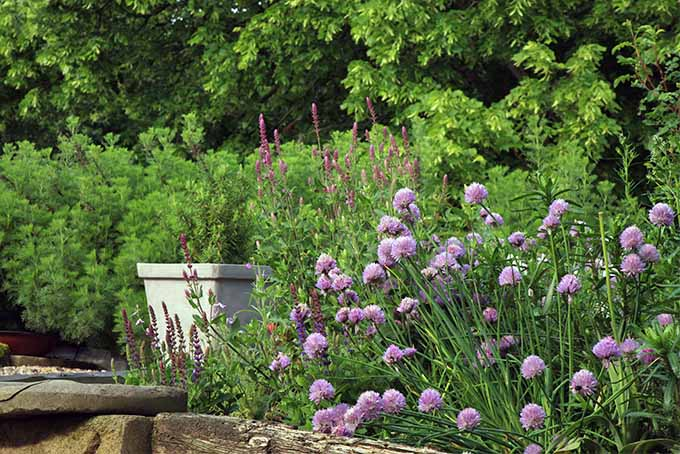Purple flowering chives and other plants, herbs, trees, and a potted plant in a white container, growing above a wooden retaining wall in the garden.