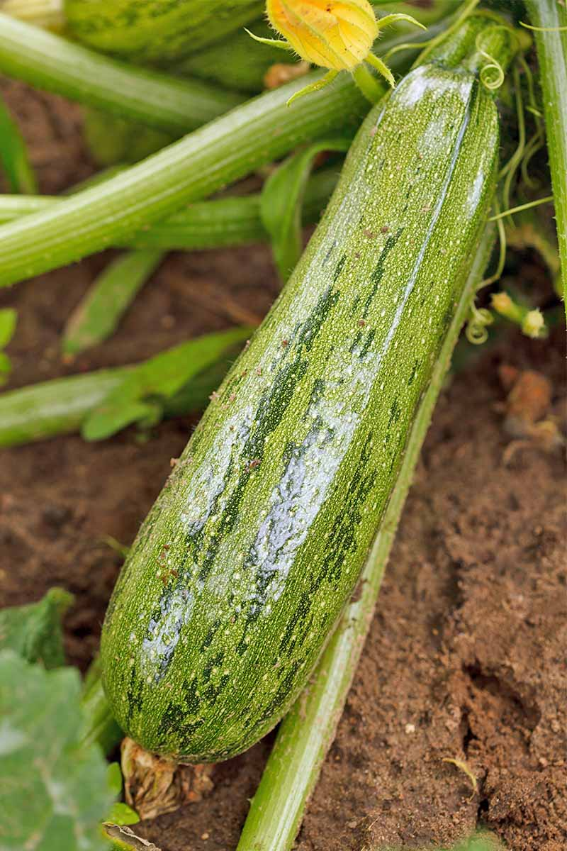 A pale and dark green striped zucchini growing in brown soil.
