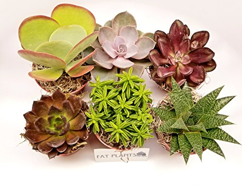 11 Best Easy Care Exotic Succulents To Grow At Home Gardener S Path
