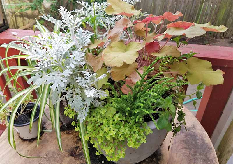 A potted plant with an arrangement of pinkish-green heuchera, and other white and green types of foliage.