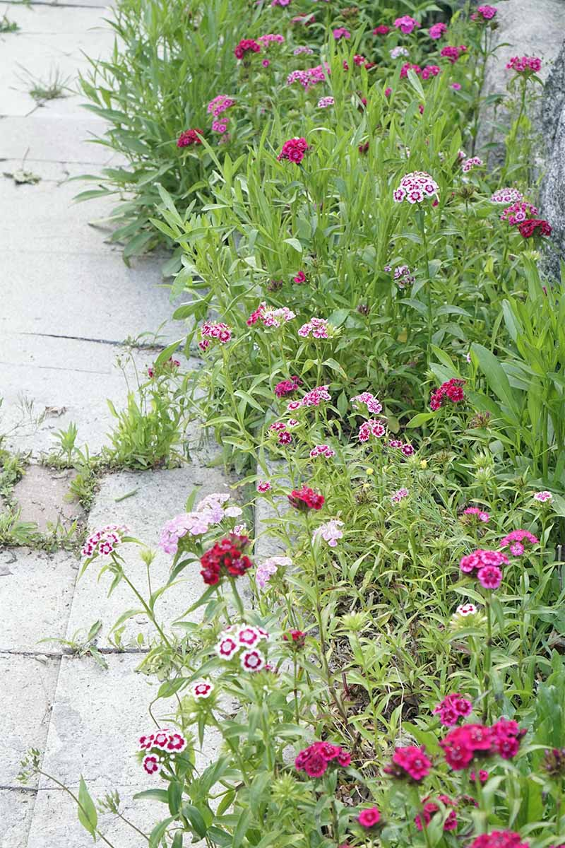 Red, pink, and white sweet williams, with other plants in a garden border, beside a sidewalk with weeds growing up through the cracks.