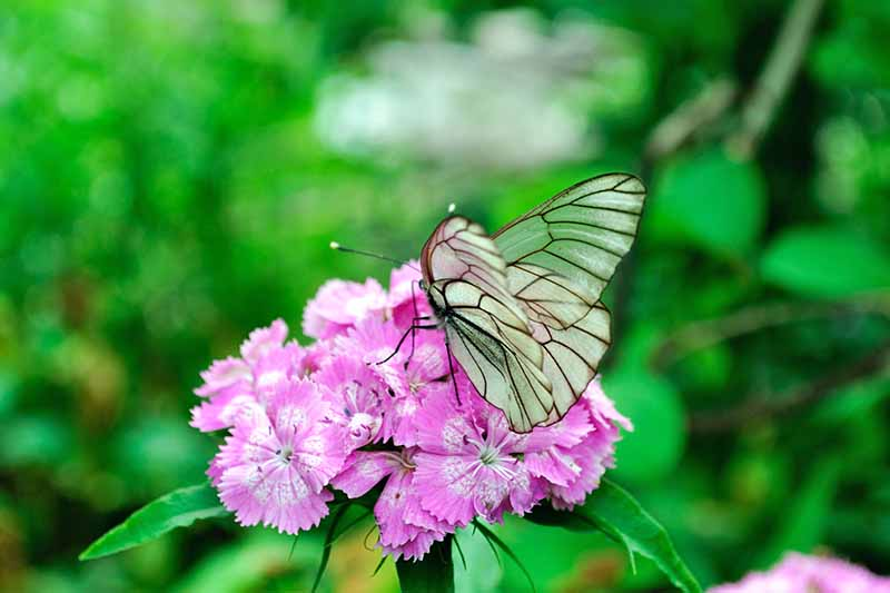 A white Aporia crataegi butterfly pollinates a pink and white Dianthus barbatus flower, with a green background in shallow focus.