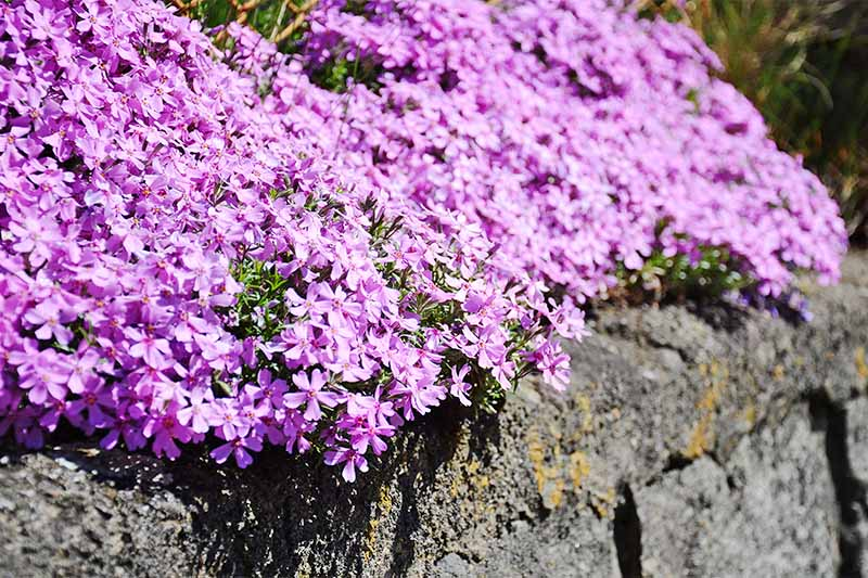 Blooming Alpine pink dianthus ground cover growing at the top of a rock wall.