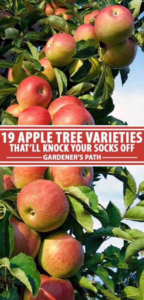 19 Best Apple Tree Varieties With A Guide To Flowering Groups Gardener S Path