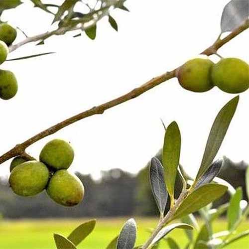 Square image of two clusters of light green 'Arbosana' olives growing on a branch, with a grassy field and trees in the distance in shallow focus in the background, against a white sky.