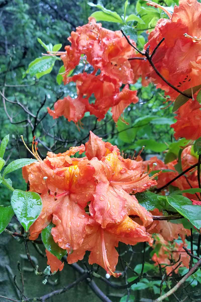 Closeup of wet orange azalea blossoms, with green leaves, on a woody shrub.