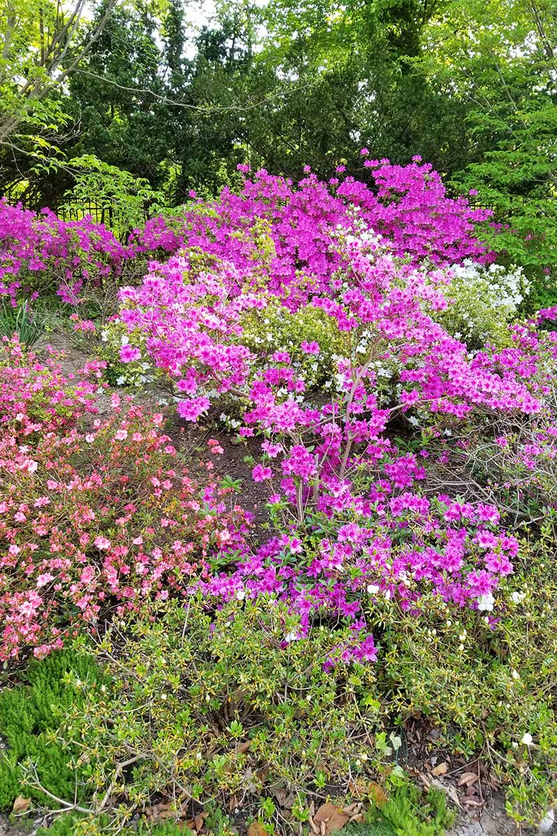 Pink and lavender azaleas growing in a shady garden.