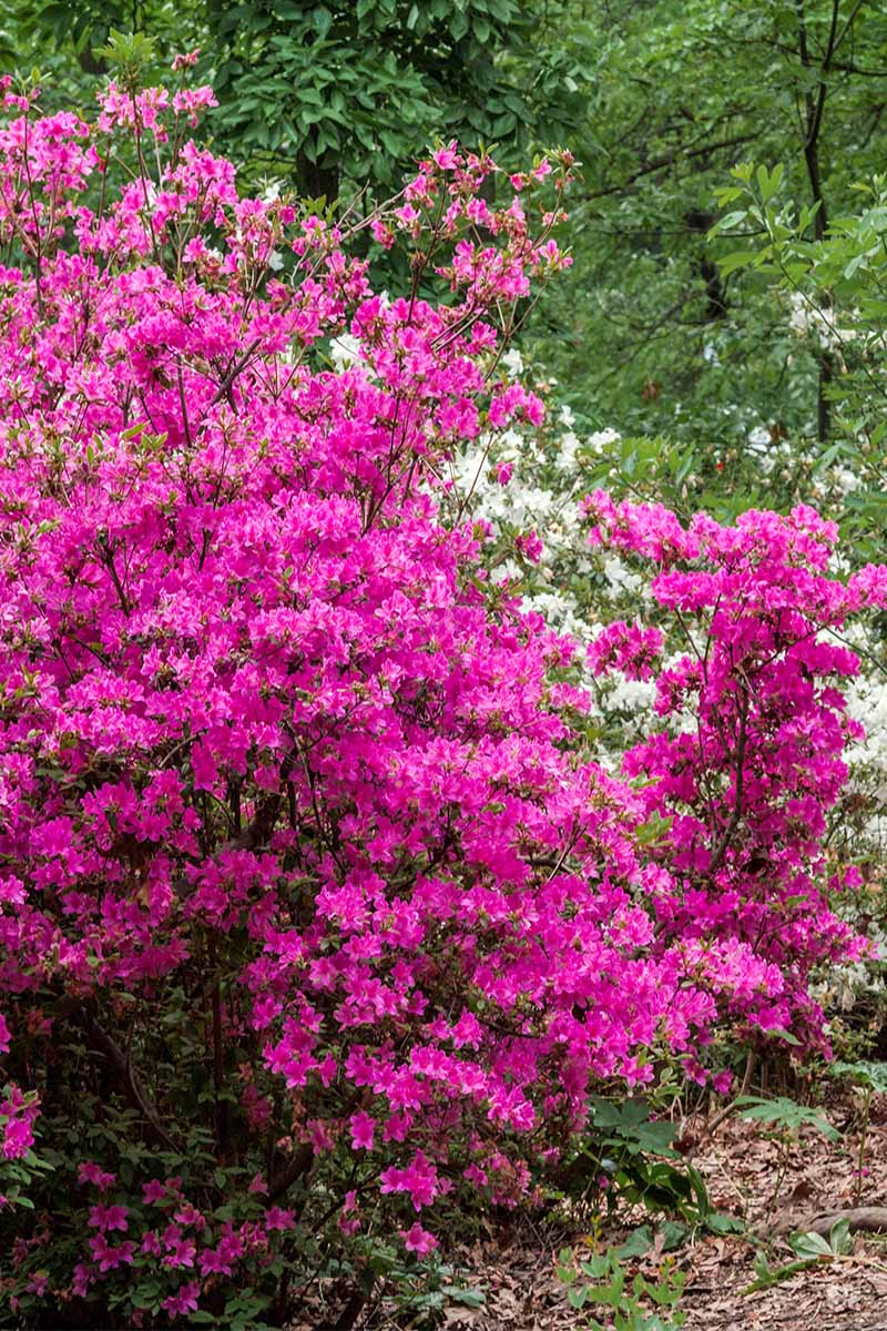 Vertical Image Of A Hot Pink Azalea Bush Blooming In The Spring With Trees