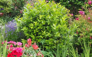 Bay Laurel: Gorgeous For the Landscape and Useful in the Kitchen
