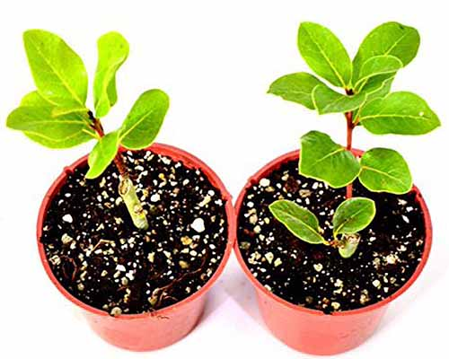 Image shot from an oblique angle of two bay laurel seedlings growing in potting soil in small orange plastic containers, isolated on a white background.