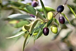 Beloved by the Ancients, Olives Are Easy to Grow in the Modern Age