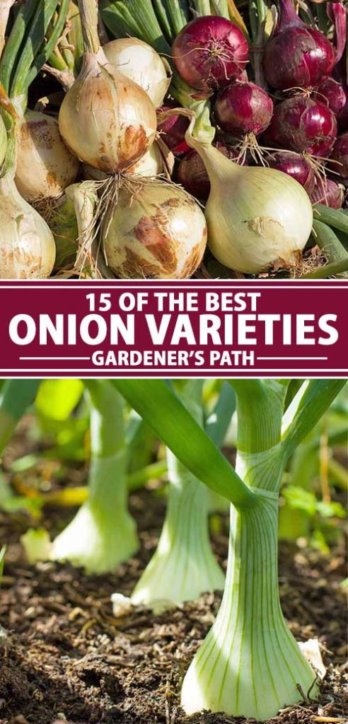 A collage of photos showing different onion varieties and cultivars.
