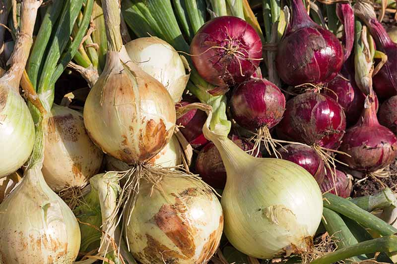 Piles of yellow and red onions with green tops.