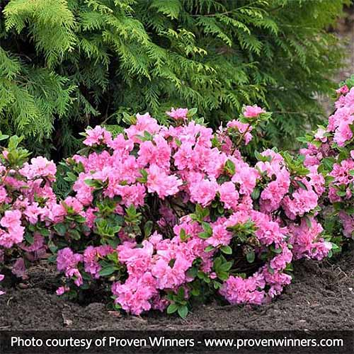Pink 'Bloom-a-thon' azalea growing at the base of an evergreen tree in a garden bed topped with brown mulch.