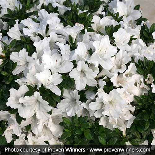 Square image of white 'Bloom-a-thon' azalea blossoms on a shrub with dark green foliage.