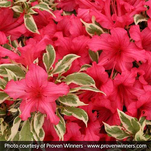 Closeup square image of red 'Bollywood' azalea with green and white variegated leaves.