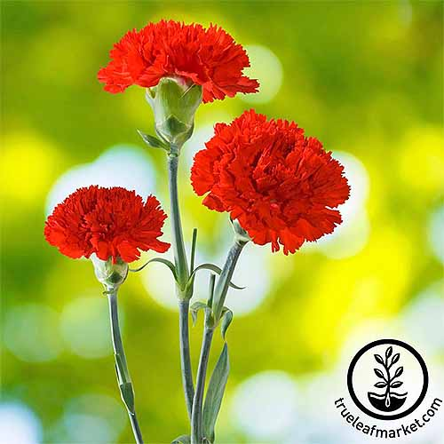 Three 'Cancan Scarlet' red carnations with mottled light green and white background in shallow focus.