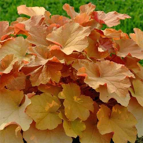 Bright orange 'Caramel' coral bells, with green foliage in the background.