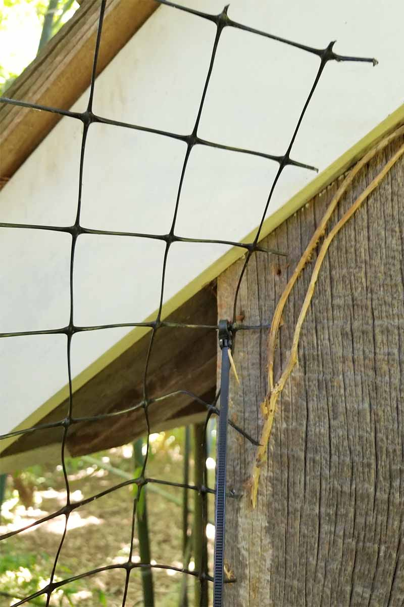 Mesh netting against the frame of a building, with a black plastic zip tie and attached with carpenter staples.