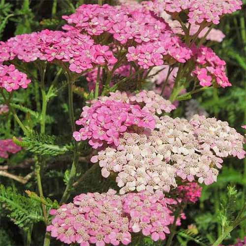 Square image of dark and light pink 'Cerise Queen' Achillea with feathery green leaves and narrow stems.