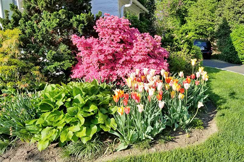 A pink azalea bush covered in flowers is at the center of the frame, with yellow, pink, white, and orange tulips and hostas in the foreground, and evergreen shrubs in front of a white house in the background, growing in bright sunshine.