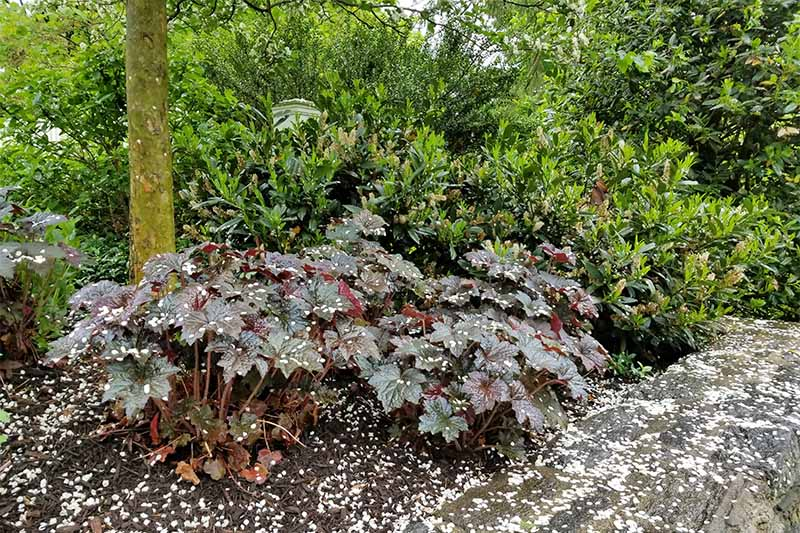 Purplish green heuchera is sprinkled, along with the surrounding ground, with white flower petals that have fallen from springtime trees.
