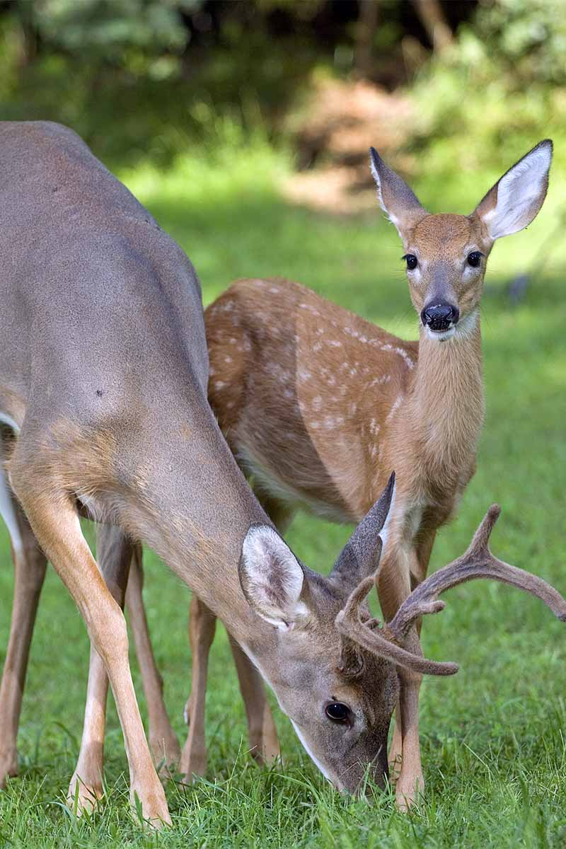 A young buck and spotted doe, on a green lawn.
