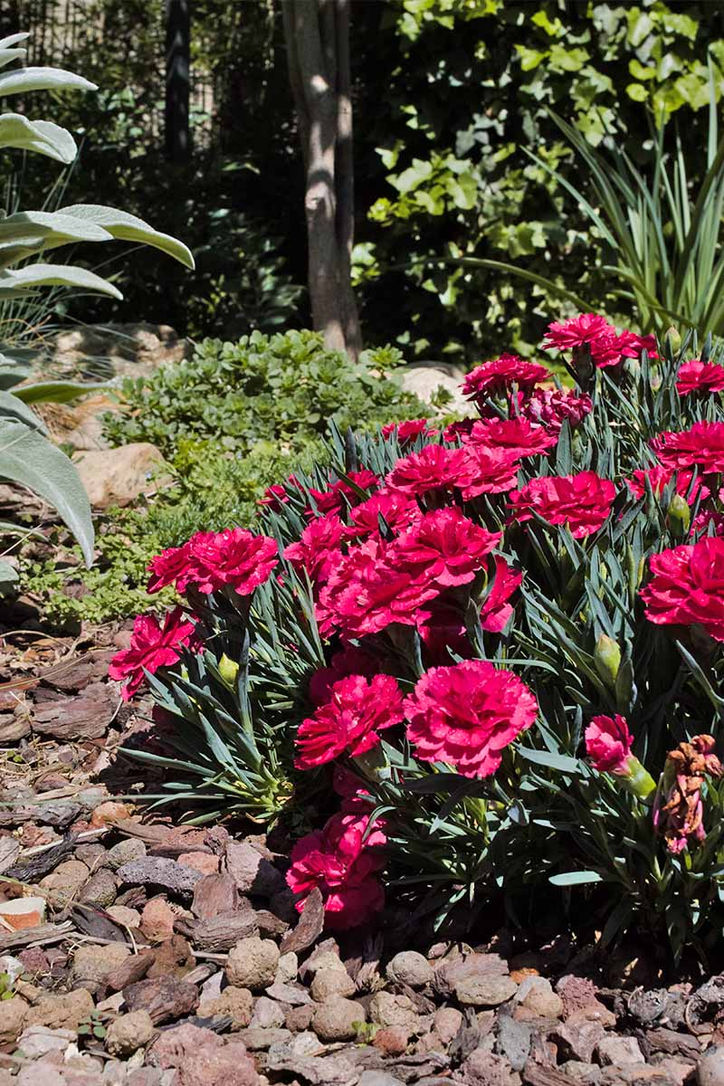 Red dianthus with dark green foliage, growing in the garden with rocks on the surrounding soil, and trees in the background.