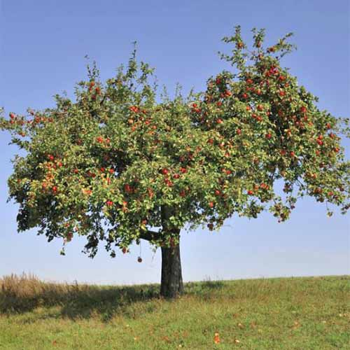 An 'Empire' apple tree, growing in a green lawn with a blue sky in the background.