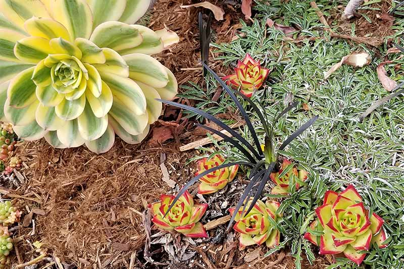 Variegated yellow and green, and light green red-tipped succulents, growing with other plants in a garden bed topped with brown mulch.