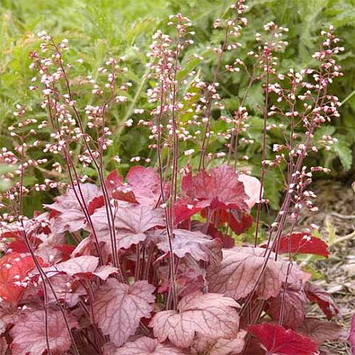 Pinkish red 'Georgie Peach' coral bells with long flower stalks and tiny light pink blossoms.