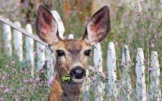 Closeup of the head of a deer with large ears, caught eating plants in the garden, among small pink flowers with a white picket fence in the background.