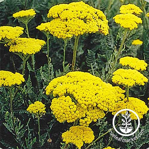 Golden achillea flowers with dark green fern-like foliage.