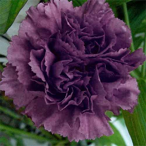 Closeup of a dark purple Dianthus caryophyllus Grenadin 'King of Blacks' carnation flower.