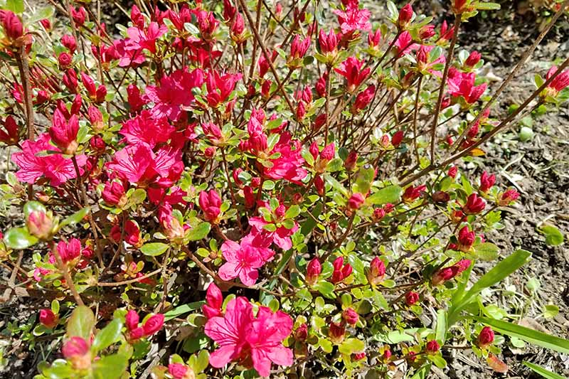 Sparse magenta blossoms, green woody branches, and small green leaves on an azalea bush.