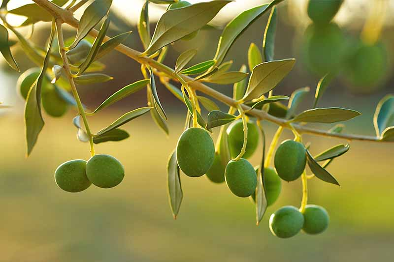 Green olives growing on a branch with narrow leaves, with setting sunshine that has a golden hue lighting the scene.