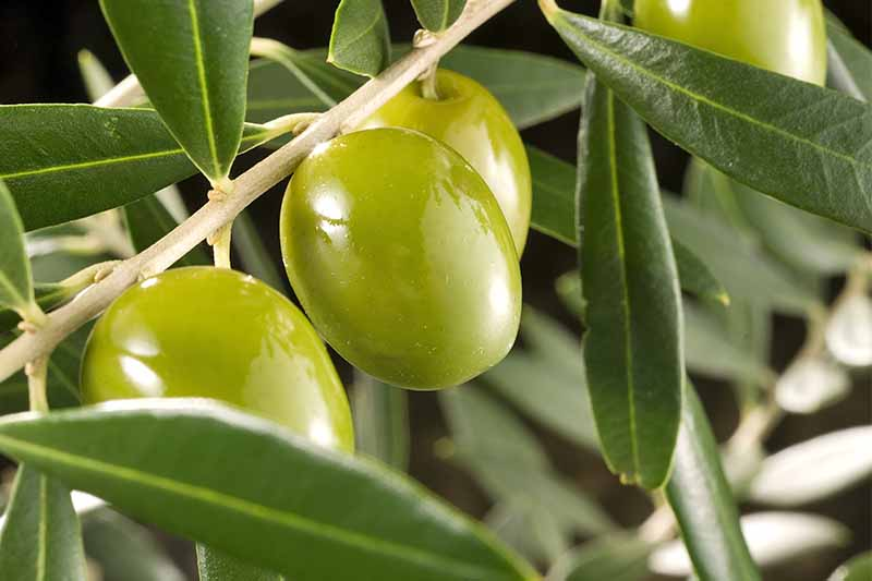 Closeup of shiny yellow-green olives on a branch with long, narrow silvery green leaves.