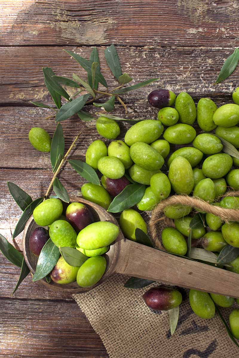 A pile of green olive with a few purple ones scattered here and there, with a wood scoop and a few branches with long green-gray leaves, on a brown natural wood background.